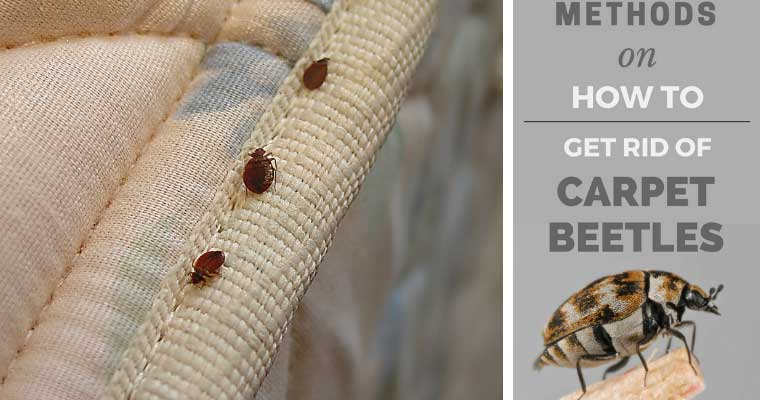 How to Get Rid of Carpet Beetles